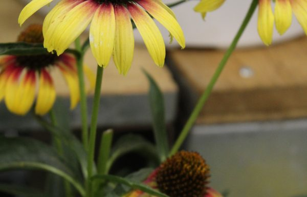 Coneflower, Fine Feathered™ 'Parrot'