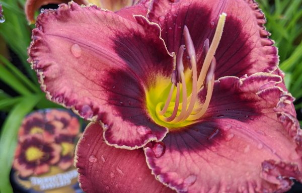 Daylily, Trophytaker® 'Manicured Majesty'