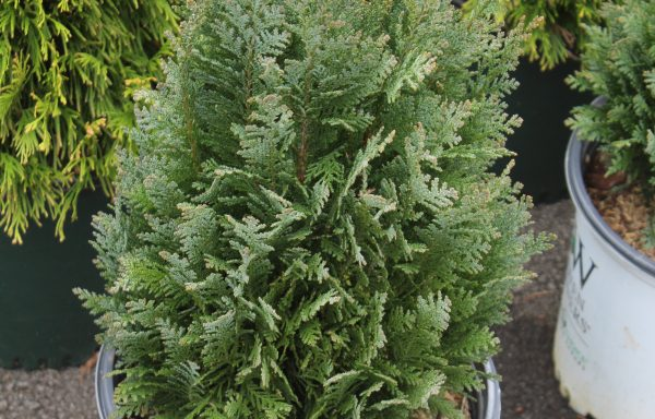 Cypress, False 'Pinpoint® Blue'