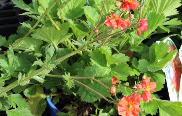 Geum 'Scarlet Temptest' – (New For 2020)