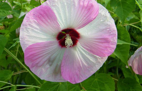Rose Mallow, Luna™ 'Pink Swirl'
