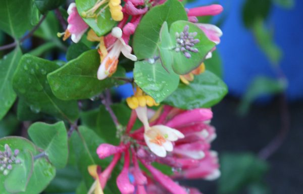 Honeysuckle 'Goldflame' – (New For 2020)