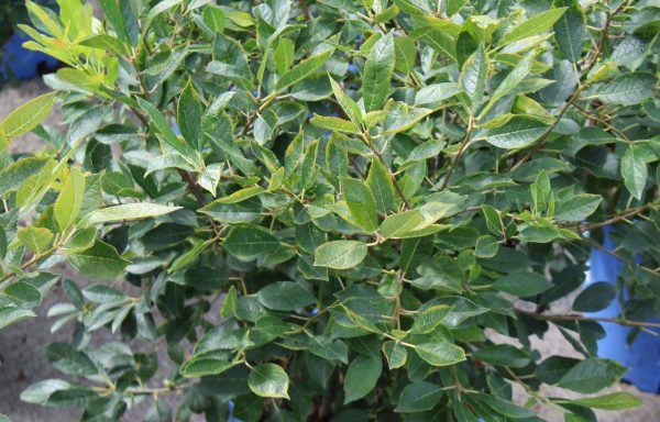 Winterberry 'Combo'