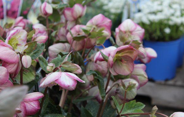 Lenten Rose, Frostkiss® 'Glenda's Gloss®' -(New For 2020)