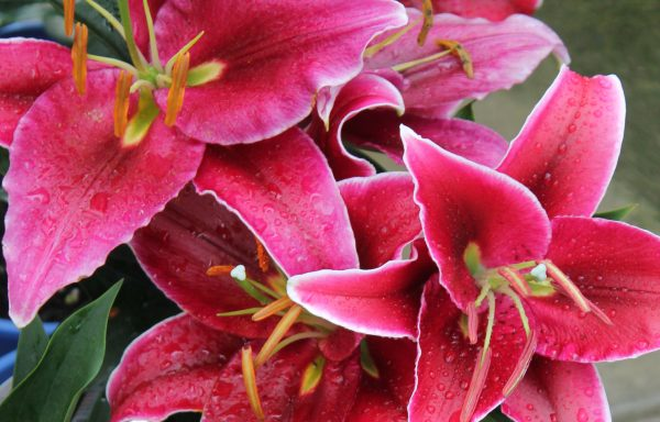 Lily, Oriental 'Love Story'
