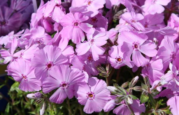 Phlox, Creeping 'Trot™ Pink' – (New For 2020)