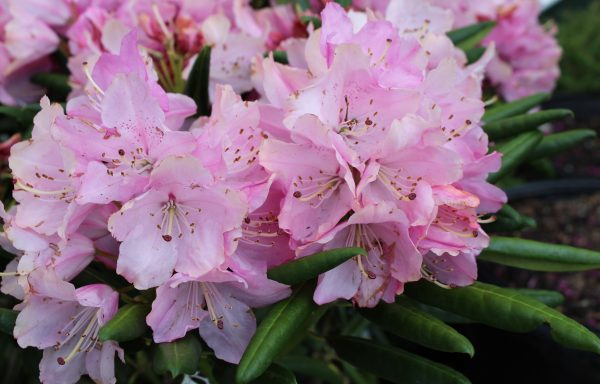 Rhododendron, Dandy Man 'Pink' – (New For 2020)