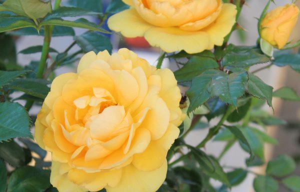 Rose, Sunbelt® 'South Africa'™ – (New For 2020)