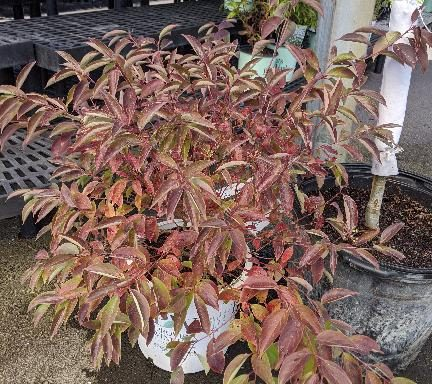 Dogwood, Silky 'Red Rover'™
