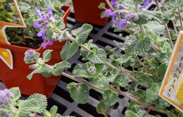 Catmint 'Early Bird'
