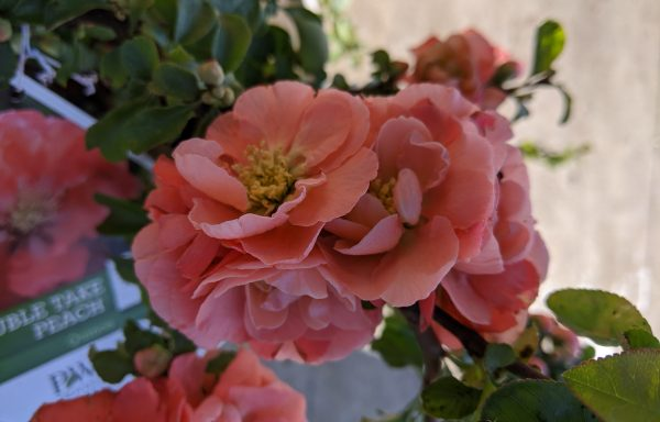 Quince, Double Take™ 'Peach'