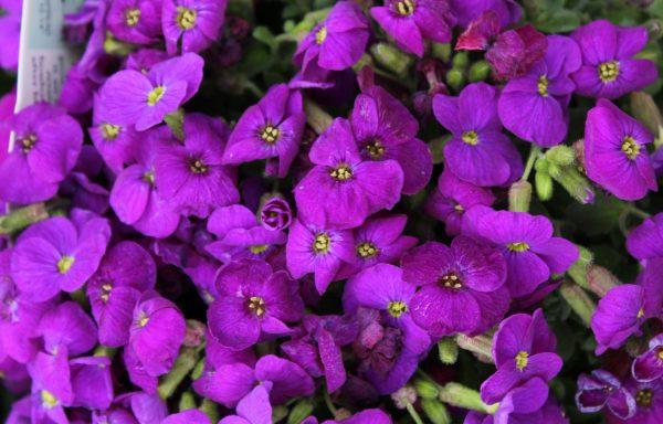 Rock Cress, Cascade 'Purple' – (New For 2020)