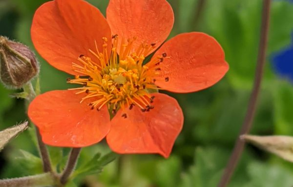 Geum 'Koi'- (New For 2020)