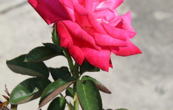 Rose 'Elizabeth Taylor' – (New For 2021)