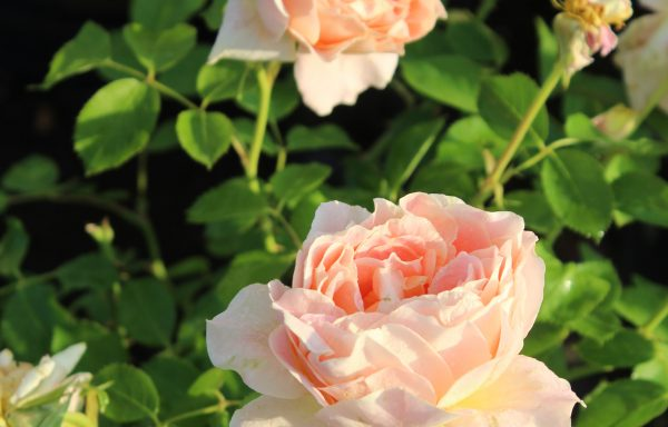 Rose 'Fun In The Sun™' – (New For 2021)