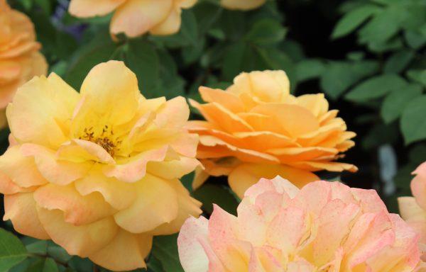 Rose 'Good As Gold'