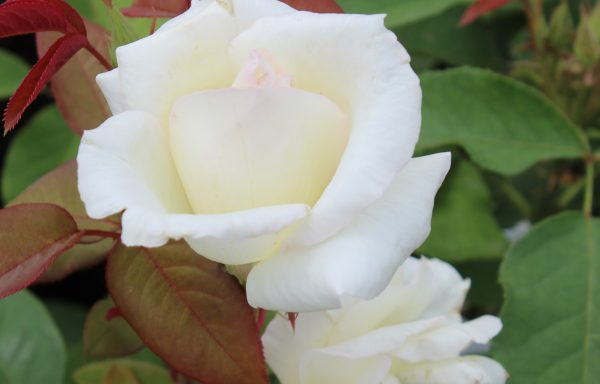 Rose 'Honor' – (New For 2021)