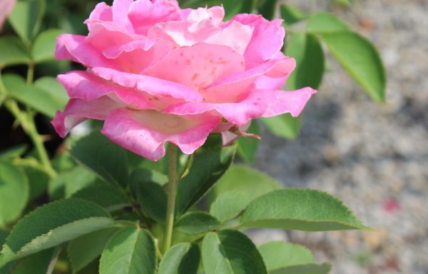 Rose 'Painted Porcelain' – (New For 2021)