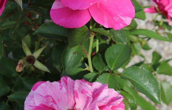 Rose 'Parade Day'™