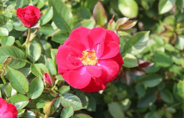Rose 'Ruby Ruby'™