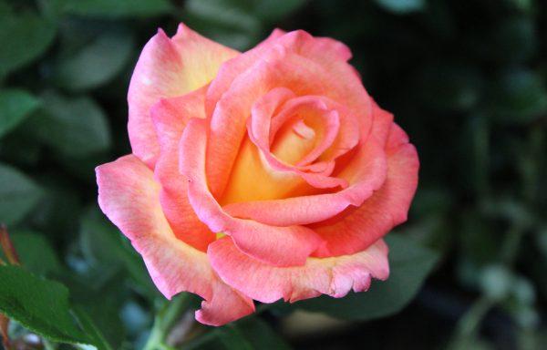 Rose 'Sheila's Perfume'