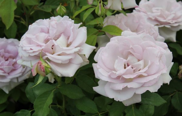 Rose 'Silver Lining' – (New For 2021)