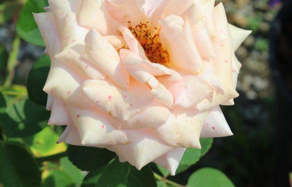 Rose 'Sunset Celebration'