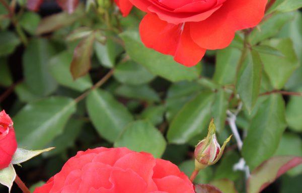 Rose 'Trumpeter'