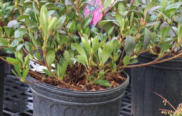 Azalea, Evergreen 'Girard's Renee Michelle'