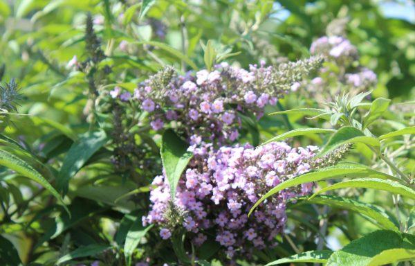 Butterfly Bush 'Grand Cascade' – (New For 2021)
