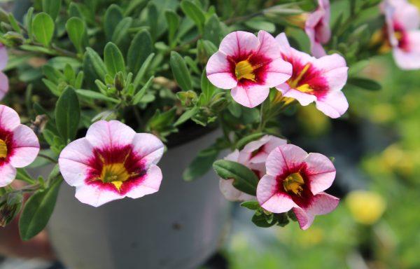 Calibrachoa, MiniFamous 'Uno Pink Strike'
