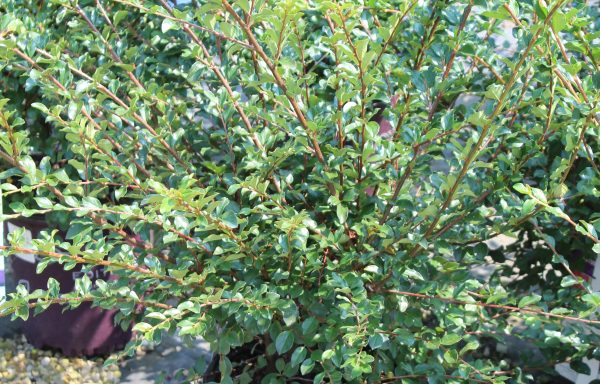 Cotoneaster, First Editions© 'Autumn Inferno' – (New For 2021)