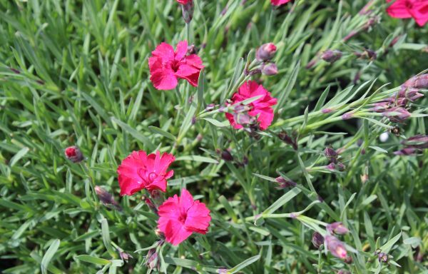 Dianthus 'Paint The Town Red' – (New For 2021)