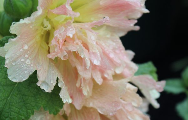 Hollyhock, Spring Celebrities™ 'Apricot' – (New For 2021)