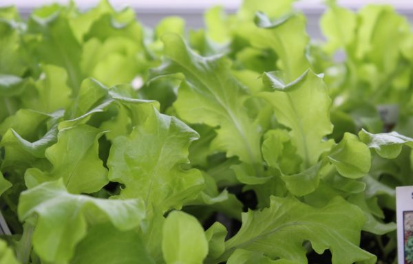 Lettuce 'Green Salad Bowl'