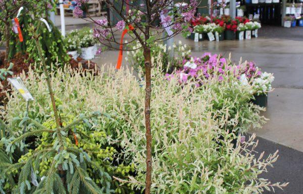 Lilac, Tree 'Palibin'