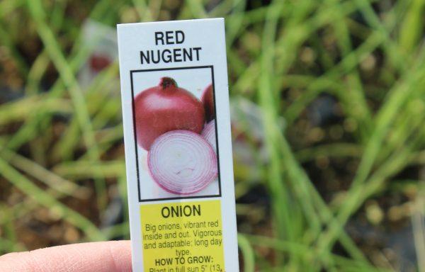 Onion 'Red Nugent'