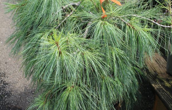 Pine, Eastern White 'Weeping'