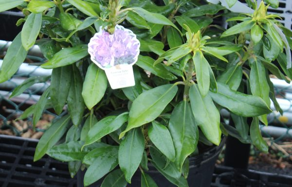 Rhododendron 'Florence Parks' – (New For 2021)