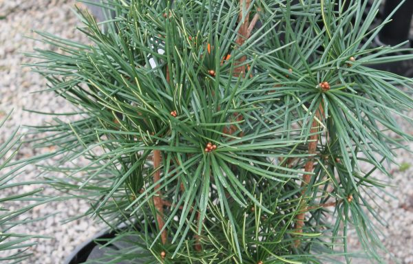 Pine, Japanese Umbrella 'Winter Green'