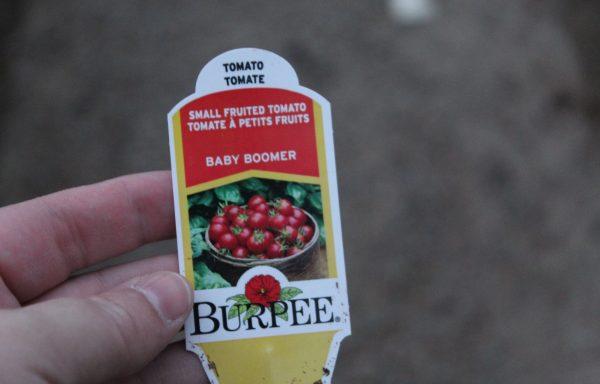 Tomato 'Burpee Baby Boomer' (F1)