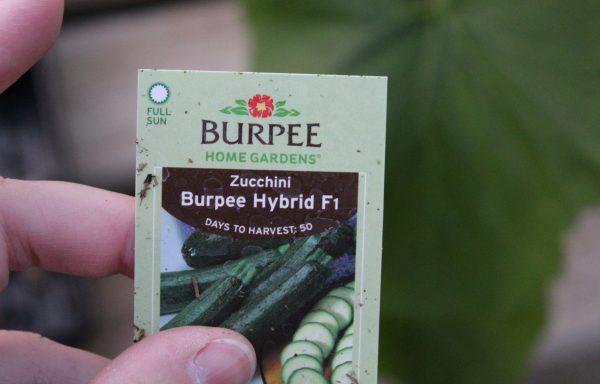 Zucchini 'Burpee Hybrid'