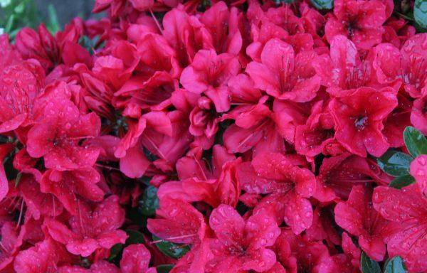 Azalea, Evergreen 'Red Red'