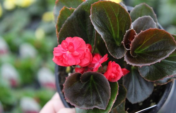 Begonia, Double Up 'Red' (New For 2021)