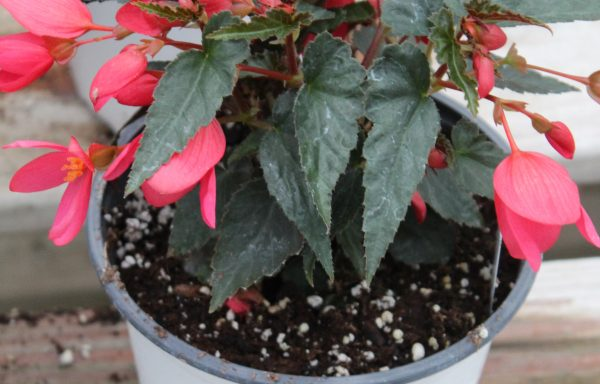 Begonia, Groovy 'Rose' – (New For 2021)