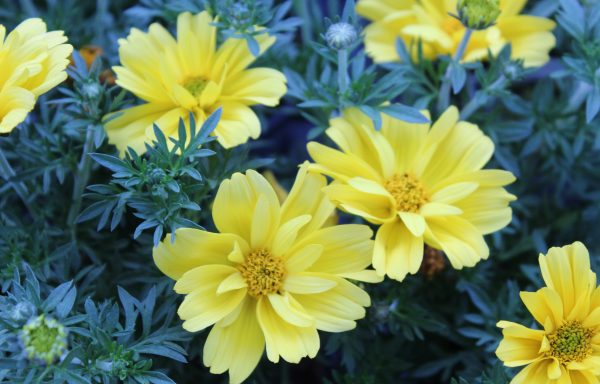 Bidens, Sun Drop 'Double Yellow' – (New For 2021)