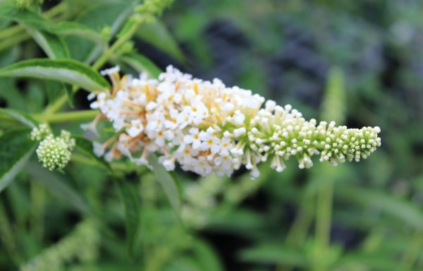 Butterfly Bush, Humdinger™ 'Little Angel'