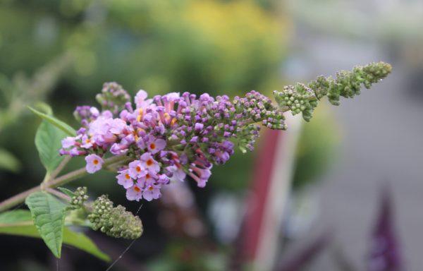Butterfly Bush, Humdinger™ 'Lavender Cupcake'