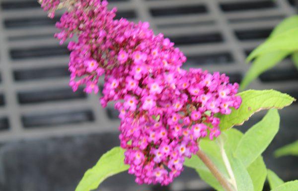 Butterfly Bush, Humdinger 'Magenta Munchkin'