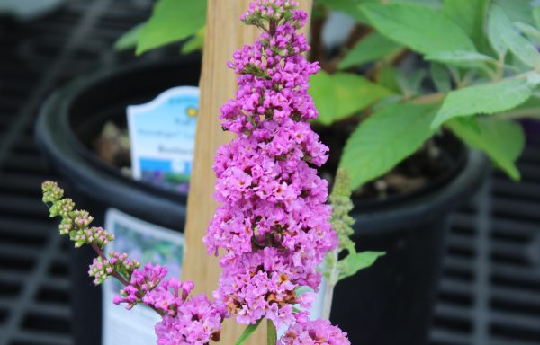 Butterfly Bush, Humdinger™ 'Orchid Annie' – (New For 2021)
